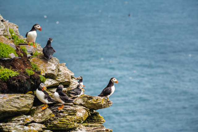 Puffins (Image @storytravelers)
